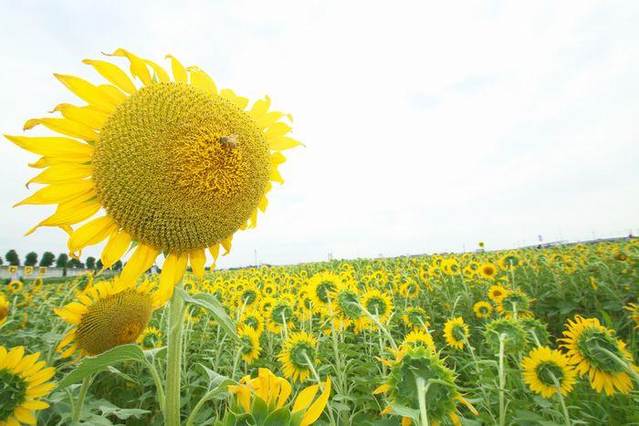 2016-8-13-1ひまわり畑