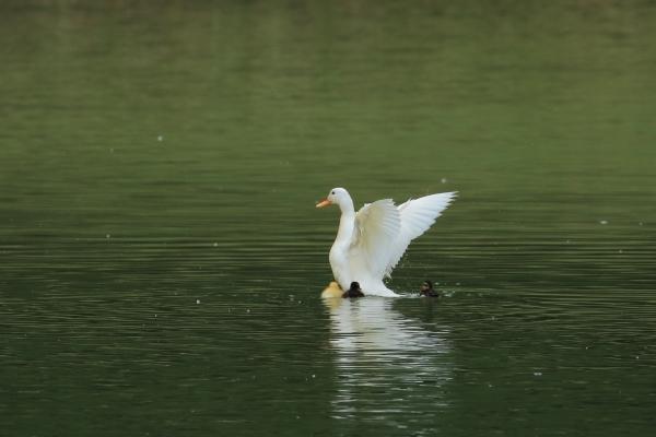 カルガモ_千鹿頭池