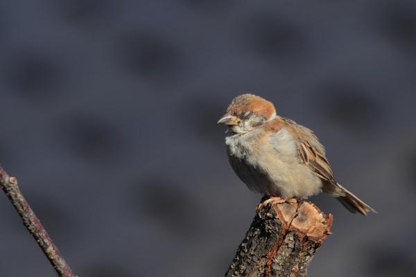 スズメ幼鳥