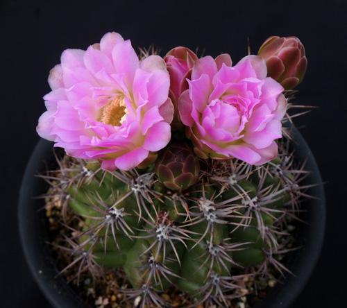 緋花×アチラ2016