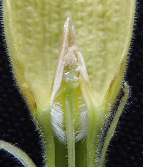 パキポの花1