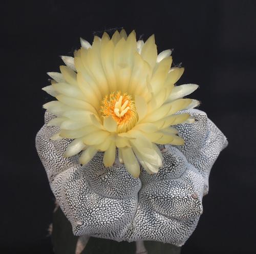 亀甲ランポの花