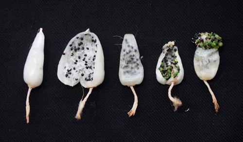 メロ果実内発芽