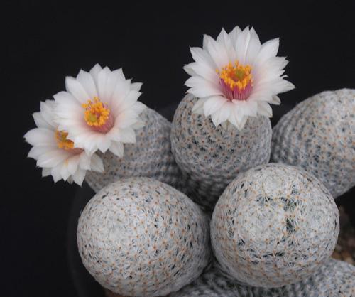 季節外れの白鷺の花