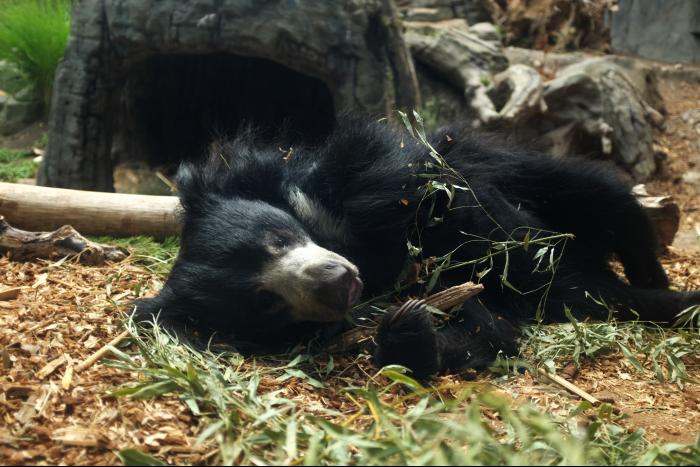 シアトル ウッドランドパーク動物園 クマ 3 201608