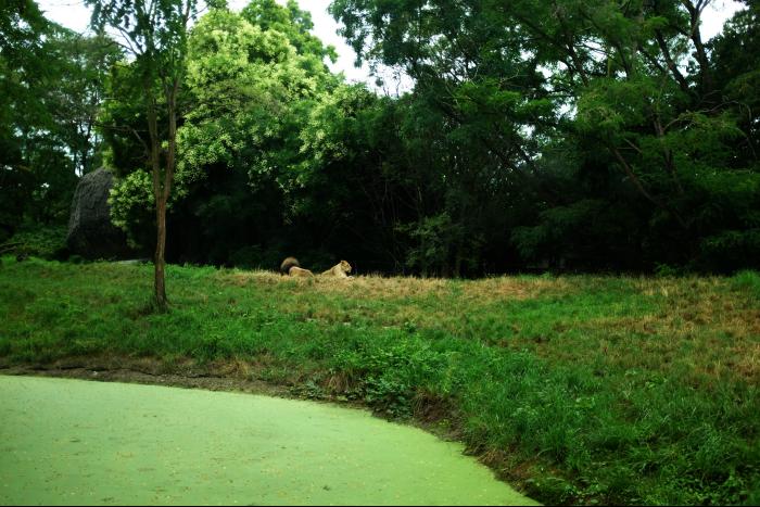 シアトル ウッドランドパーク動物園 サバンナ ライオン 201608
