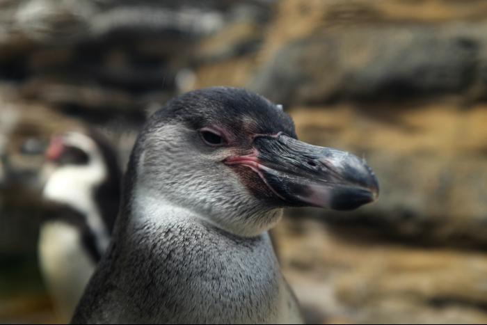 シアトル ウッドランドパーク動物園 ペンギン 4 201608