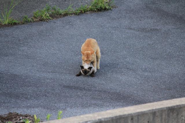 外猫観察5:交尾