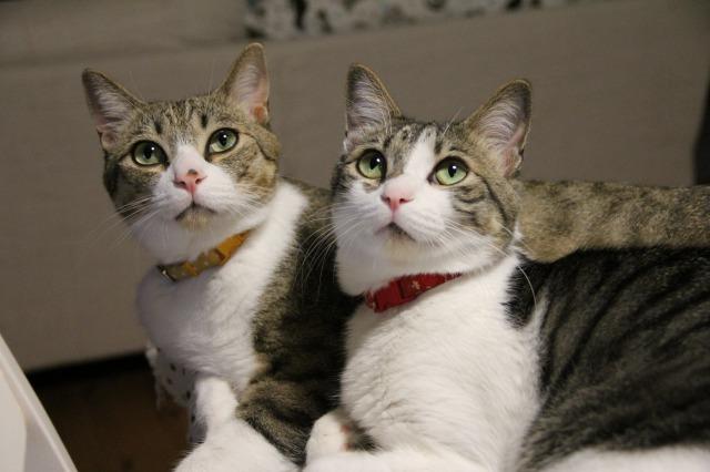 キジ白猫兄弟1