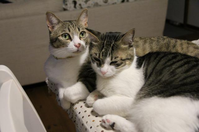 キジ白猫兄弟2