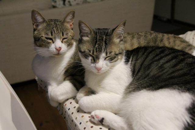 キジ白猫兄弟3