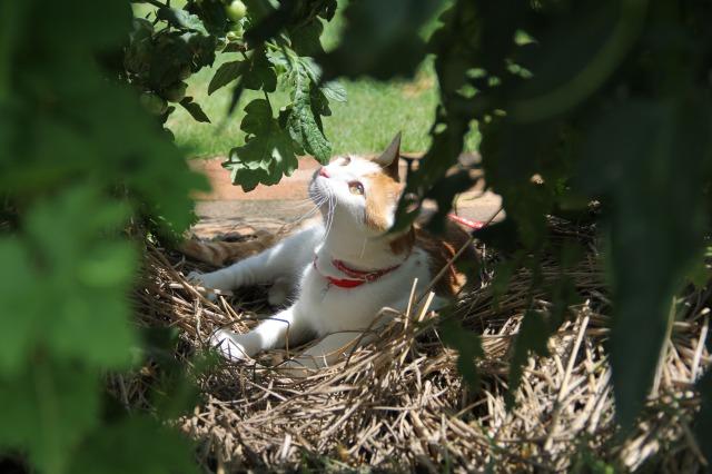 野菜畑の猫1