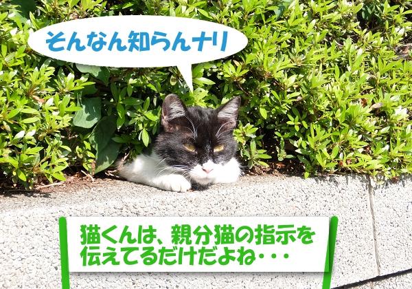 そんなん知らんナリ 「猫くんは、親分猫の指示を伝えてるだけだよね・・・」