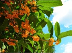 秋の花・金木犀の無料写真素材4