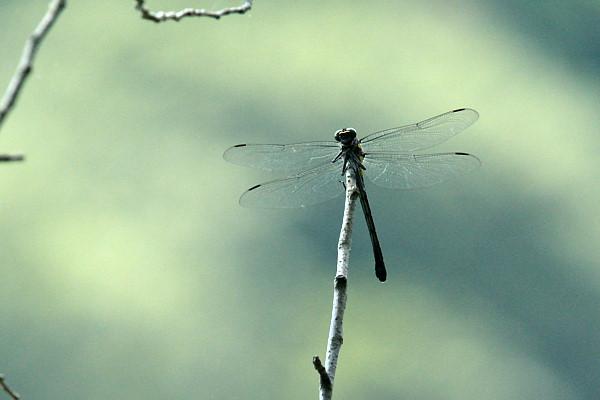 シオカラ蜻蛉