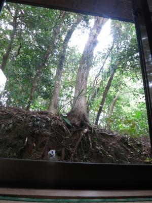 160405-23=伐採前クスノキ a和室外