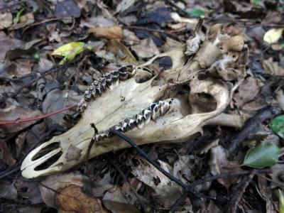 161014-304=鹿の頭の骨 aONA文化の森