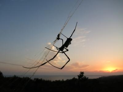 161101-11=蜘蛛と夕焼け a枕流庵前庭