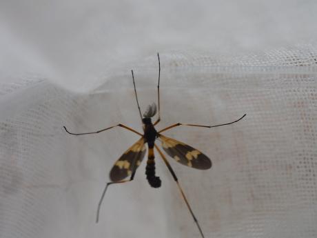 ホリカワクシヒゲガガンボ♂