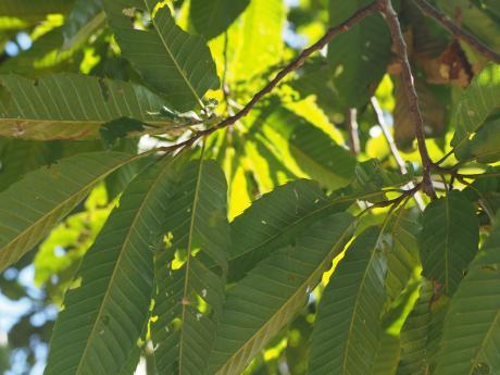 リンゴコブガ幼虫4