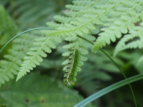 キスジツマキリヨトウ幼虫2