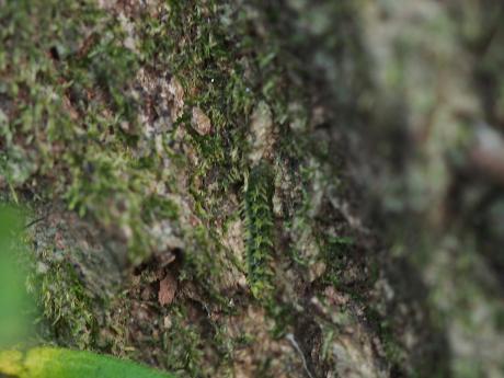 ミカドシリブトガガンボか・幼虫6