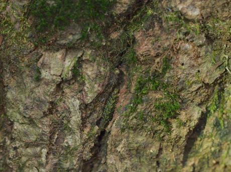 シリブトガガンボ幼虫