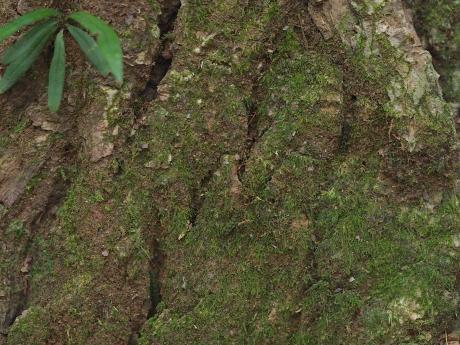 シリブトガガンボ幼虫2