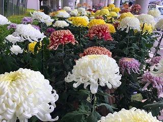 西宮さん、ふれあい館の菊展