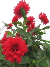IMG_4141ダリア高嶺の花