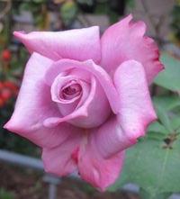 IMG_4154薔薇パーピルレイン