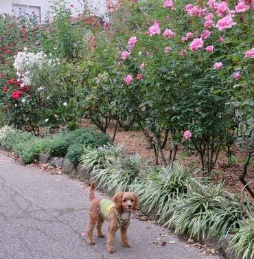 IMG_4150バラ花壇