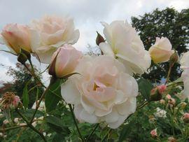 IMG_4554薔薇