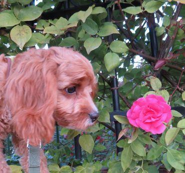IMG_4666ピンクの薔薇