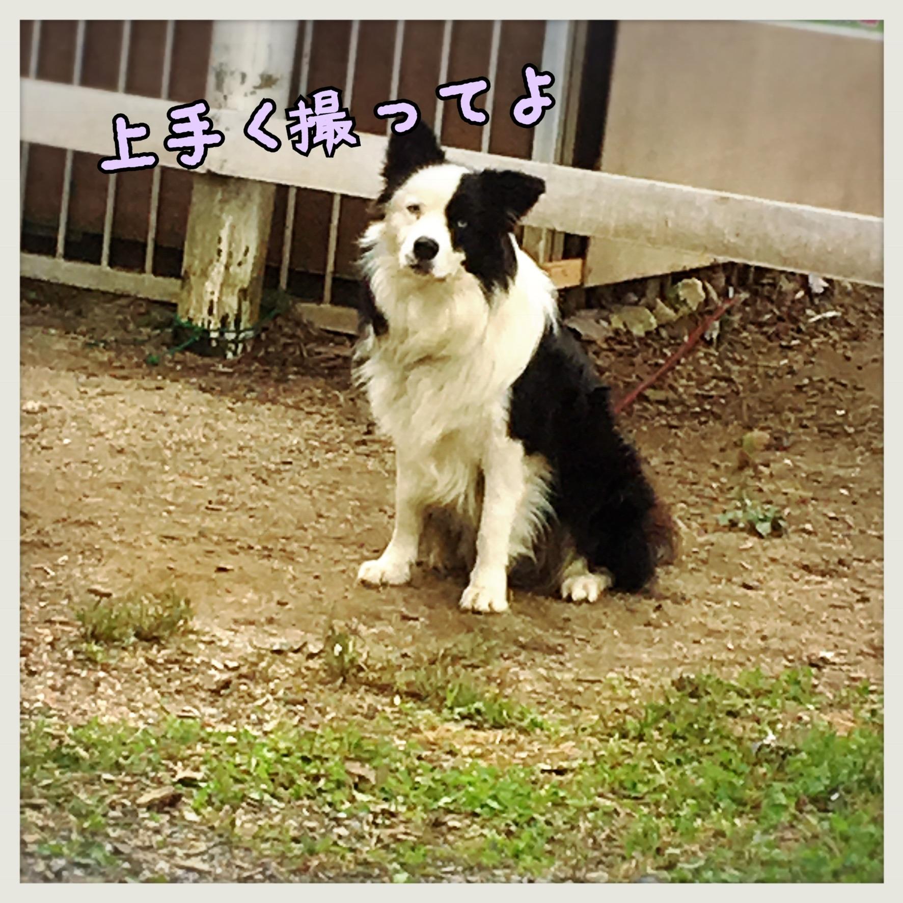 看板犬☆ボーダーコリー