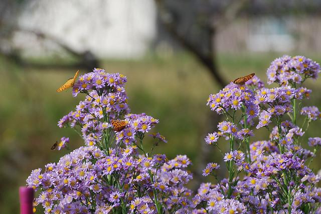 シオンの花にチョウが