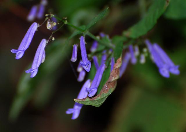 アキチョウジの花をアップ