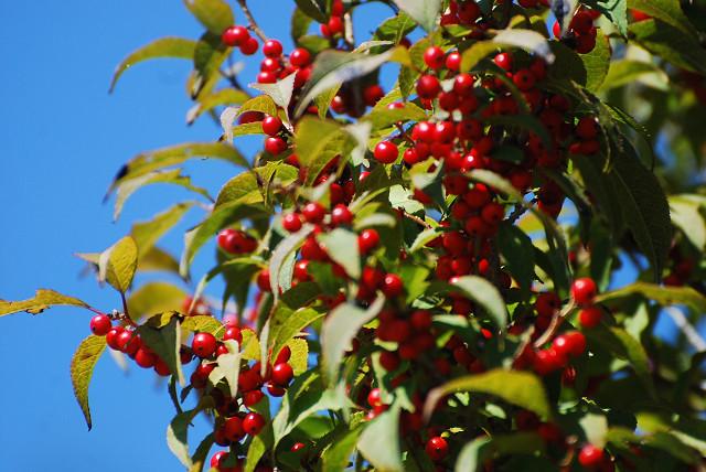 ウメモドキの赤い実がいっぱい