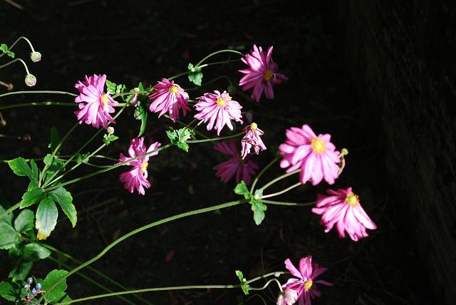シュウメイギクの花は