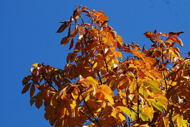 トチノキの黄葉がきれい