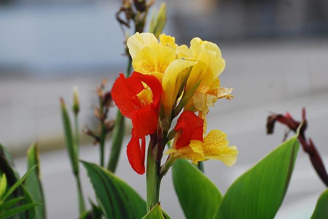 カンナの黄色と赤の花