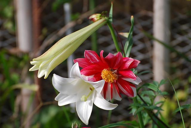 タカサゴユリと赤い花