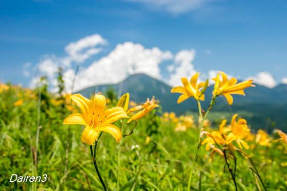 富士見台のキスゲ