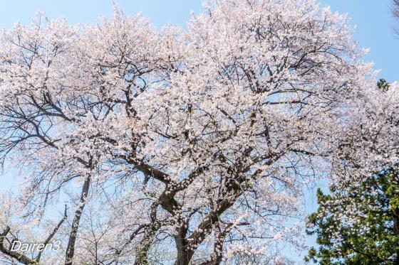 沼田城址公園の御殿桜