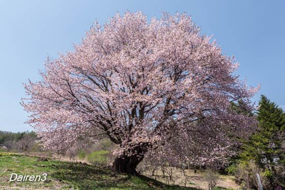 片品村天王桜