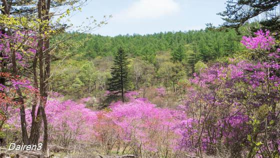 井戸湿原のミツバツツジ