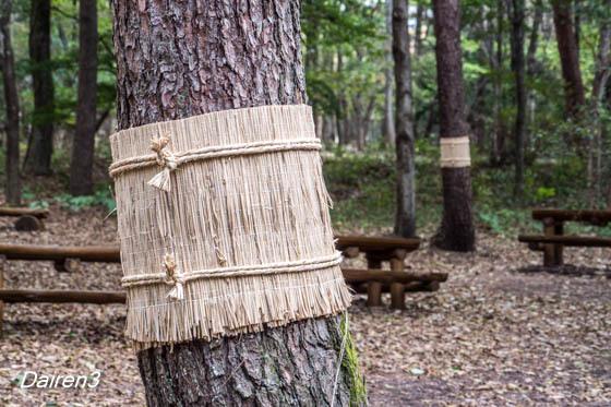 松の菰巻き