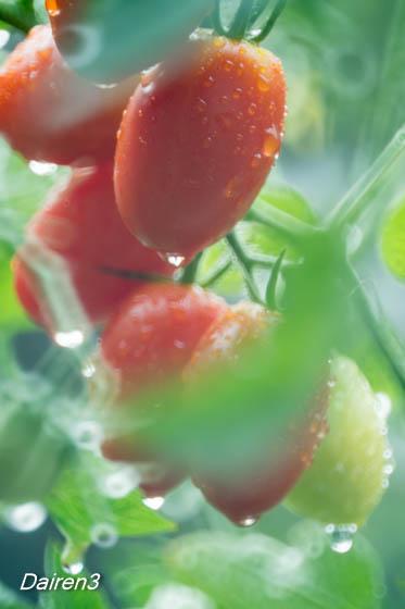 雨に濡れるミニトマト