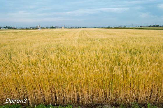 色づいてきた麦