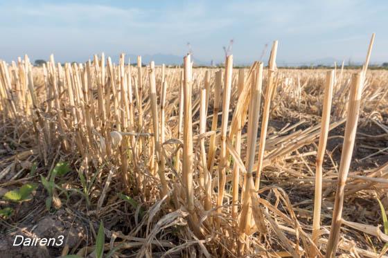 麦刈り終盤